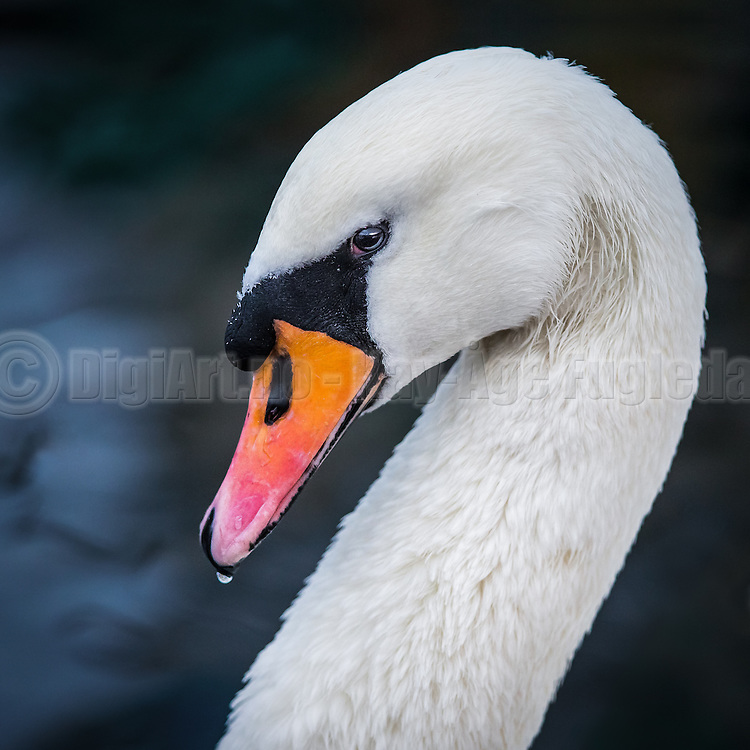 Swan with a twinkle in his eye | Svane med glimt i øyet