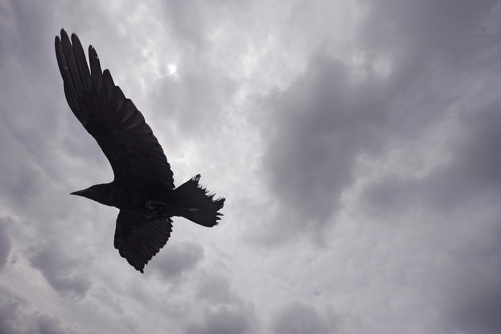 Raven (Corvus corax)  Ireland western coast Burren region wide-angle shot