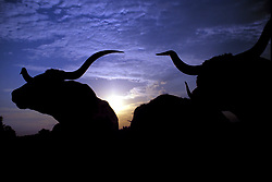 Silhouette of two longhorns on a country sunset