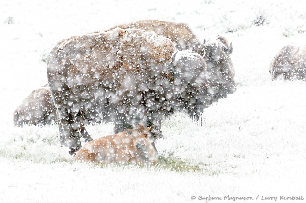 Bison [Bison bison] herd during spring snowstorm; Yellowstone National Park, Wyoming