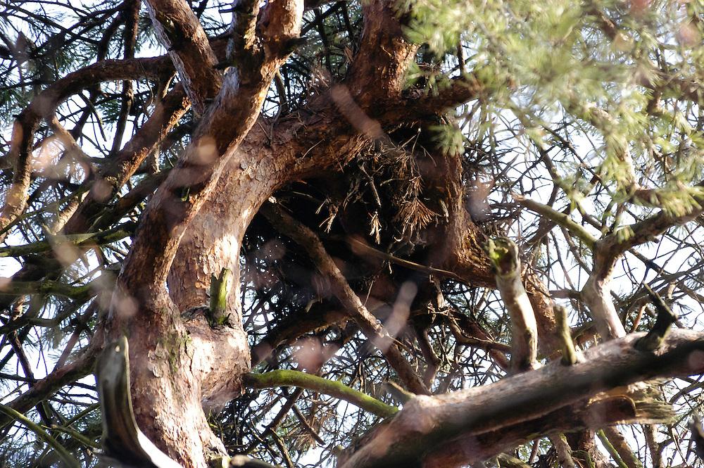 Rode eekhoorn, Sciurus vulgaris