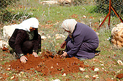 Two palestinian women planting an olive tree