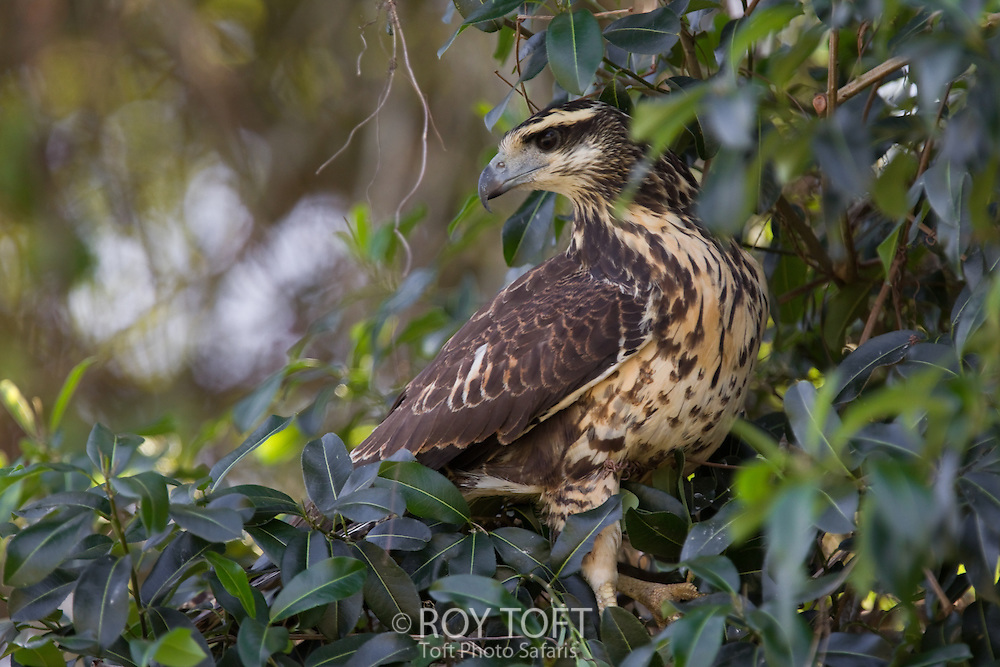 Great Black Hawk (Buteogallus urubitinga), Pantanal, Brazil