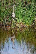A fishing Blue Heron sports a beautiful afternoon reflection. South Carolina