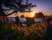 Lupine blooming in abundance along the Oregon coast.  The sea stacks along the coast are made of harder rock that has has survived the pounding from ocean storms while the softer rock around them wore away.