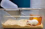 Nederland, Nijmegen, 23-6-2005..Foto niet gebruiken bij artikelen over dierenexperimenten in de cosmetica-industrie, dierenmishandeling, of dierenleed. ..Een rat in het dierenlaboratorium van het UMCN. De dierenlabs van universiteiten moeten aan steeds strengere eisen en regelgeving voldoen mbt welzijn, huisvesting en hoeveelheid dieren waar mee onderzoek op medisch gebied gedaan wordt. Het oranje bakje fungeert als holletje. In de fles zit drinkwater...Foto: Flip Franssen