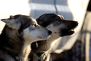 March 7th, 2009:  Anchorage, Alaska - Two dogs from the team of Bill Cotter from Nenana, Alaska soak up the sun on 4th Avenue in downtown Anchorage prior to the Ceremonial start of the 2009 Iditarod.