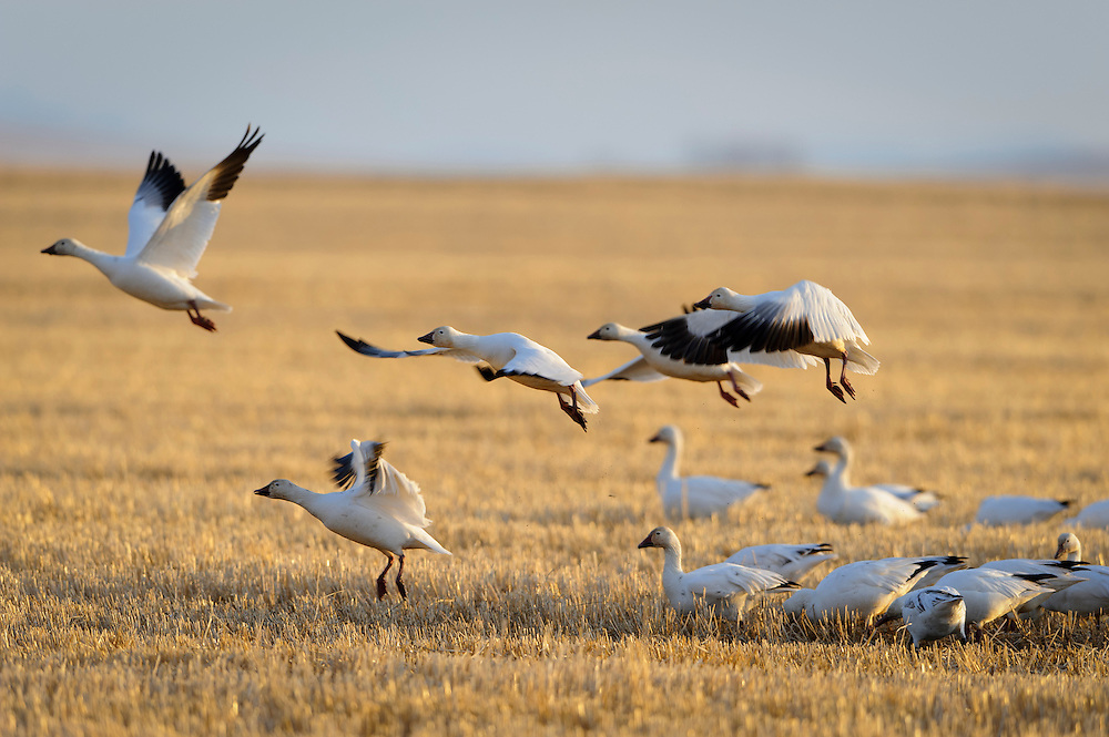 Snow Geese feeding in a hay field during their annual Spring migration, Central Montana