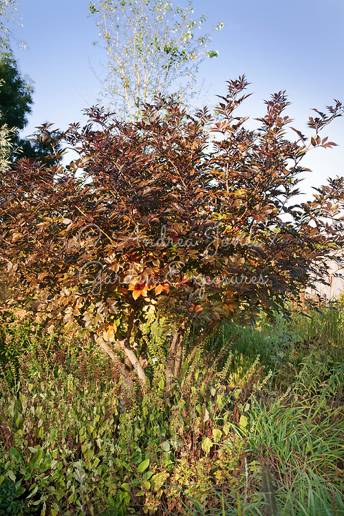 Sambucus nigra 'Guincho Purple' trained on a stem