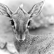 &ldquo;Dik-dik&rdquo;                                                           Tanzania<br />