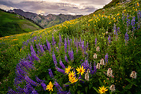 The hillside blooms of wildflowers in Utah's Little Cottonwood Canyon put on quite the nature show in the Summertime.