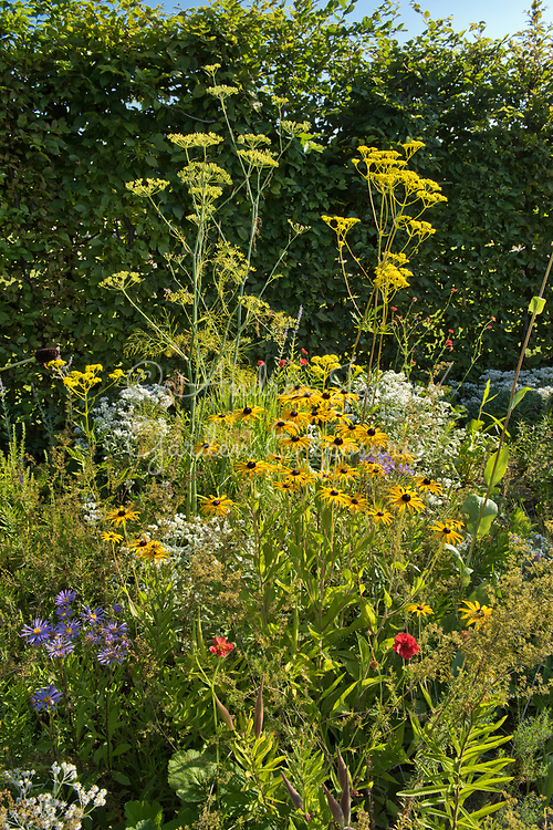 Carpinus betulus (hornbeam) hedge surrounding a border including Echinacea paradoxa Gold Nugget (Ozark yellow coneflower), Patrinia scabiosifolia (Golden valerian, Golden lace), Anaphalis triplinervis, Aster amellus 'Rudolph Goethe' and Geum chiloense 'Blazing Sunset' (avens 'Blazing Sunset') <br /> <br /> <br /> <br /> IGA Berlin 2017, 'The Garden of Vulcan'<br /> Design: Tom Stuart-Smith Ltd