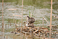 Young American Coots sitting on their nest of reeds and cattails when they are first born they have a hint of black like the adults but also bright red feathers about a couple of months they turn brown and as they grow they will turn black.