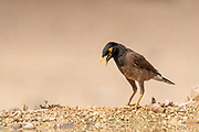 Common myna (or Indian Myna Acridotheres tristis). This bird is native to southern Asia from Afghanistan to Sri Lanka. The Myna has been introduced in many other parts of the world and its distribution range is on the increase to an extent that in 2000 the Species Survival Commission (IUCN) declared it among the World's 100 worst invasive species. and one of only three birds in this list. It is a serious threat to the ecosystems where introduced. Photographed in Israel negev Desert in June