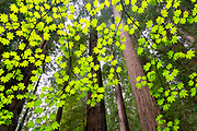 Towering old growth redwoods, in the Stout Grove of California's Jedediah Smith Redwood State Park, are seen through a canopy of spring vine maple leaves.