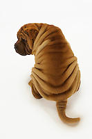 Shar-pei sitting back view elevated view