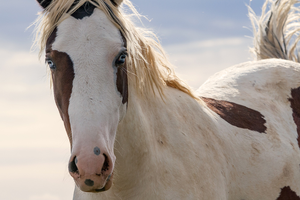 With two brilliant blue eyes, the gaze of this young wild stallion, known as Tonkawa, is riveting.