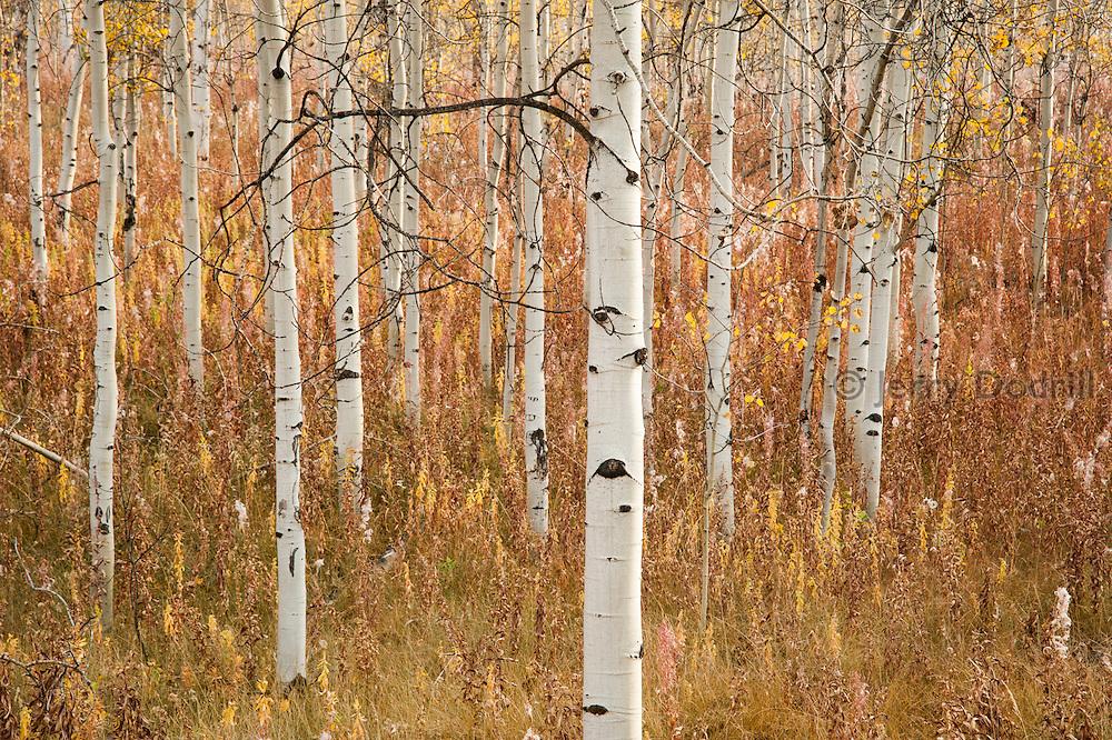 Aspen Trees in Grand Tetons National Park, Jackson, Wyoming