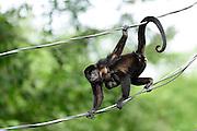 Mantled Howler (Alouatta palliata), or Golden-mantled Howling Monkey   Mantelbrüllaffe (Alouatta palliata), Costa Rica