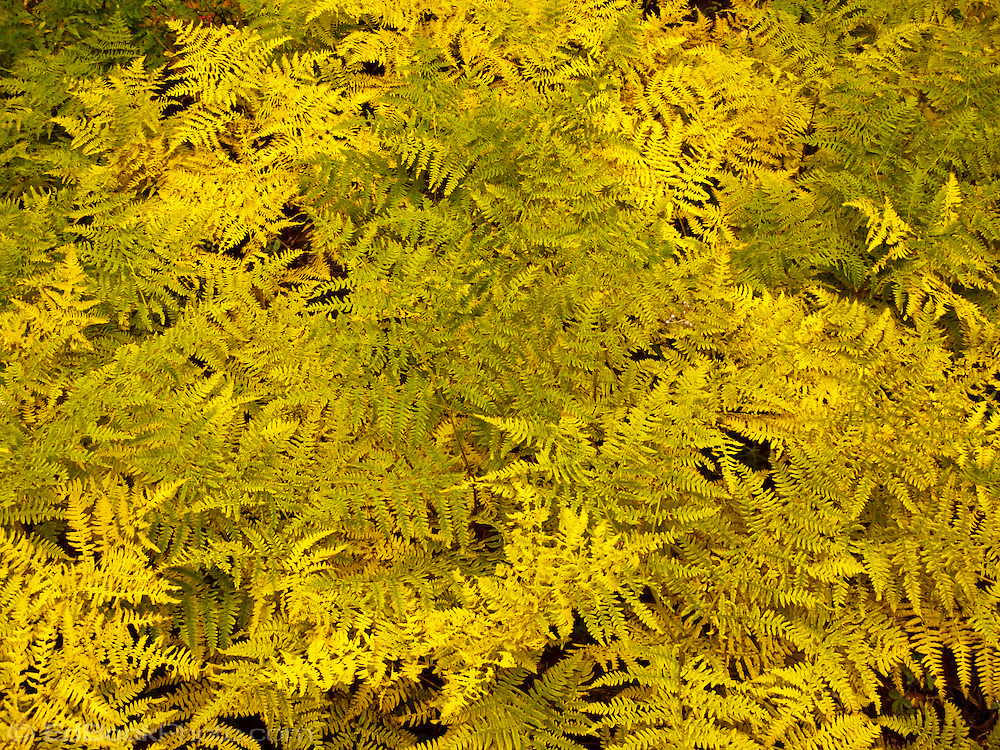 Bracken Ferns (Pteridium aquilinum) in autumn yellow, Gifford Pinchot National Forest, Cascade Range, Washington state, USA