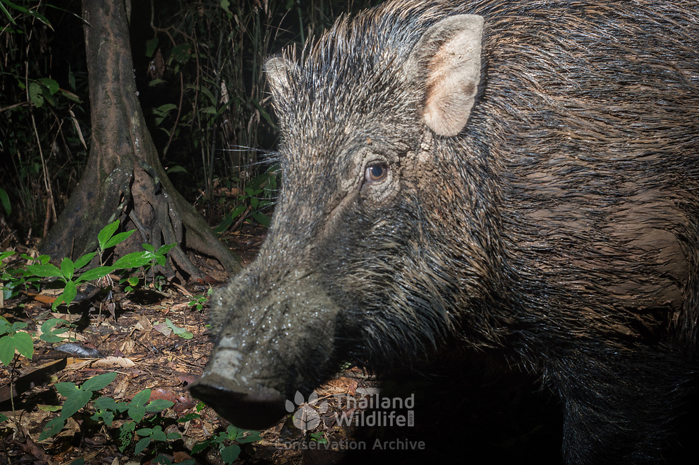 A male wild boar (Sus scrofa), also known as the wild swine or Eurasian wild pig, is a suid native to much of Eurasia.
