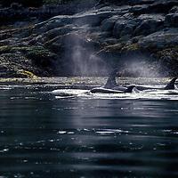 Killer Whales - Orcinus orca