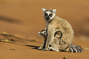Ring-tailed Lemur<br /> Lemur catta<br /> Mother and two- week-old baby<br /> Berenty Private Reserve, Madagascar