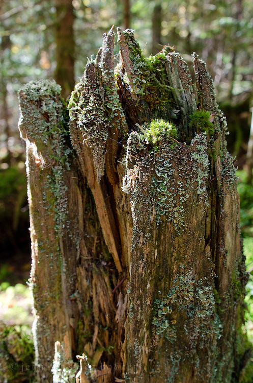 Mosses and lichens on old tree stump, Baxter State Park, Maine.