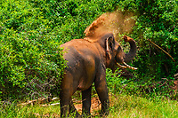A tusked elephant takes a dirt bath, Yala National Park, Southern Province, Sri Lanka.