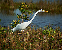 Great Egret. Black Point Wildlife Drive, Merritt Island National Wildlife Refuge. Image taken with a Nikon D3s camera and 70-200mm f/2.8 lens with a 2.0 TC-E III teleconverter (ISO 200, 400 mm, f/5.6, 1/2000 sec).