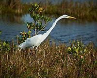 Great Egret. Black Point Wildlife Drive, Merritt Island National Wildlife Refuge. Image taken with a Nikon D3s camera and 70-200mm f/2.8 lens with a 2.0 TC-E III teleconverter (ISO 200, 400 mm, f/5.6, 1/2000 sec).