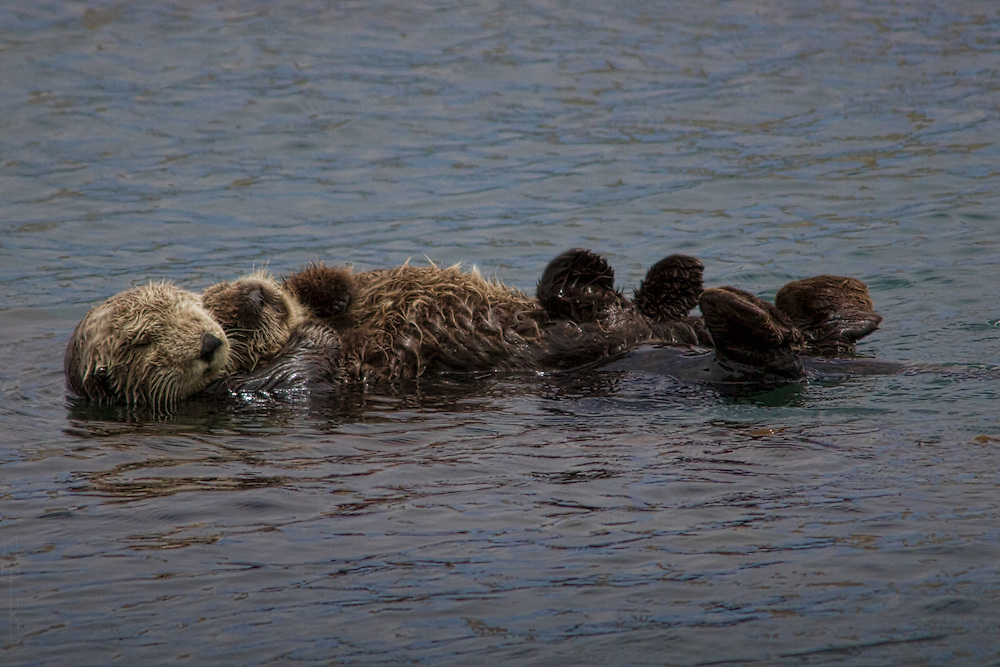 Sea Otter mother with pup. Detail enlarged.