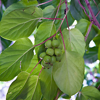 The small edible fruit of the hardy Kiwi (Actinidia arguta)