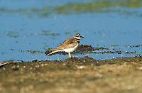 Killdeer (Charadrius vociferus) on rocks beside Bow River, Fishcreek Provincial Park, Calgary, Alberta, Canada   Photo: Peter Llewellyn