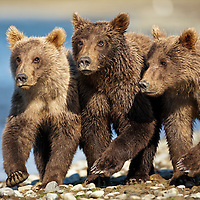 USA, Alaska, Katmai National Park, Grizzly Bear Cubs (Ursus arctos) walking together along salmon stream by Kukak Bay