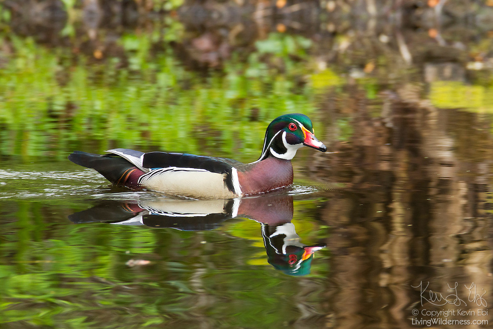A male wood duck (Aix sponsa), called a drake, swims in a channel of the wetlands of the Washington Park Arboretum in Seattle, Washington. Wood ducks typically breed in wooded swamps, shallow lakes, marshes or ponds, and creeks in the eastern United States and along the west coast from Washington state into Mexico. They usually nest in cavities in trees close to water. Unlike most other ducks, the wood duck has sharp claws for perching in trees.
