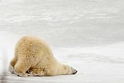 CANADA, Churchill (Hudson Bay).Polar bear (Ursus maritimus) crawling on thin ice