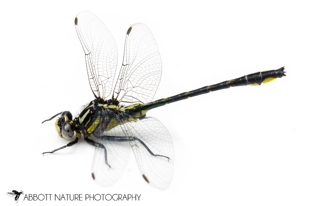 Rapids Clubtail (Phanogomphus quadricolor)<br /> WISCONSIN: Rusk Co.<br /> Chippewa River on Hwy 8; Bruce<br /> 45.45238, -91.26037  13-Jun-2014<br /> J.C. Abbott #2668 &amp; K.K. Abbott
