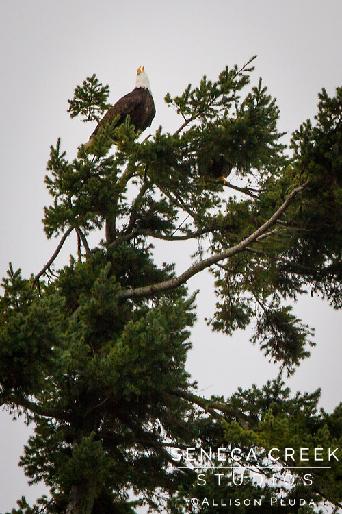 If you look up into the tops of the trees that line the coast you can frequently see bald eagles flying out into the ocean to catch fish.