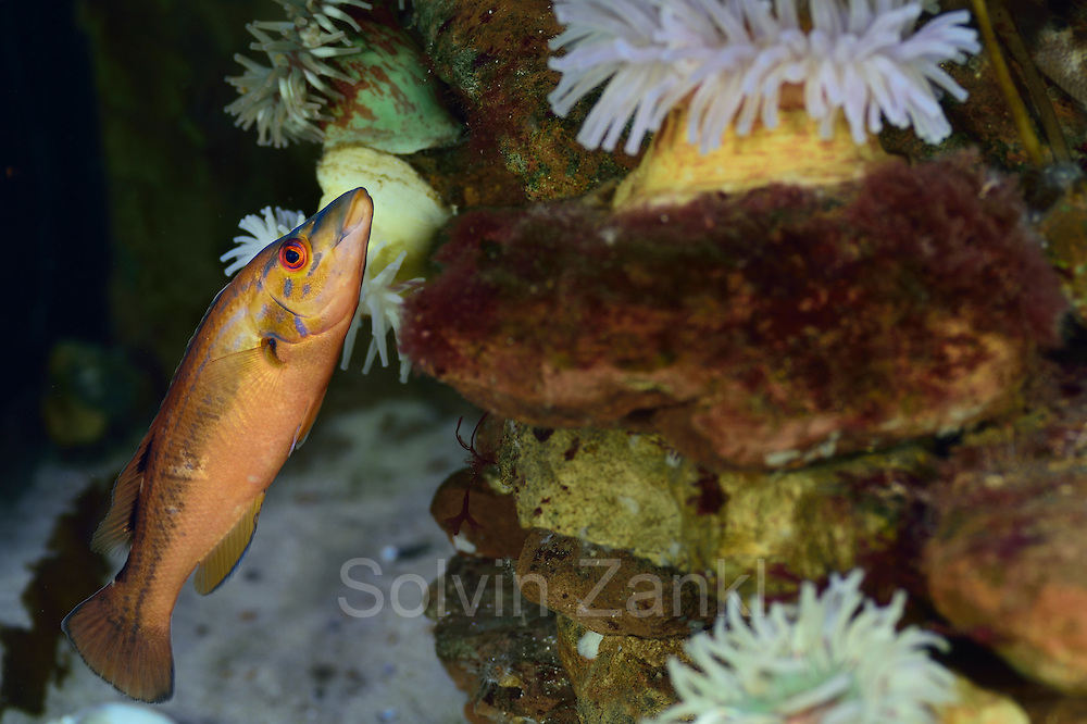 [captive] Kuckuckslippfisch (Labrus mixtus, Syn.: Labrus bimaculatus) weibchen Multimar Wattforum in Tönning