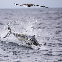 Atlantic bluefin tuna (Thunnus thynnus) jumping at surface after prey. Nova Scotia, Canada. October.