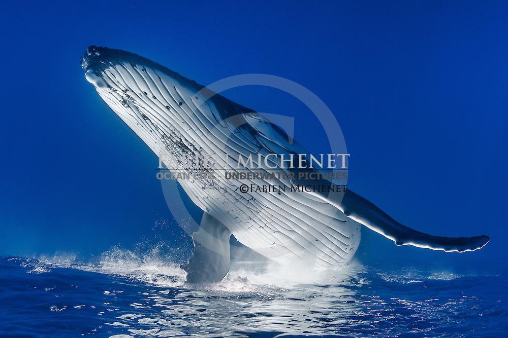 Humpback whale (Megaptera novaeangliae), Tahiti