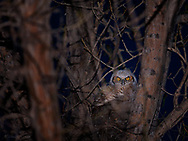 A young great horned owl peers out from behind a jumbled weave of branches.