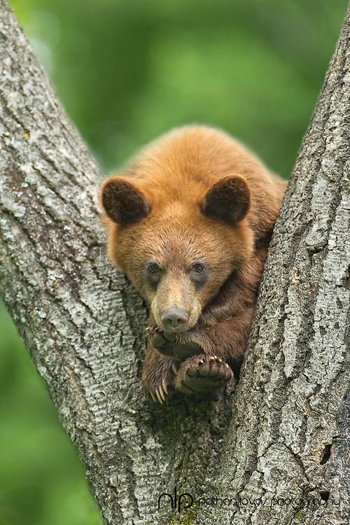 Cinnamon black bear yearling in tree;  taken in wild in Minnesota.