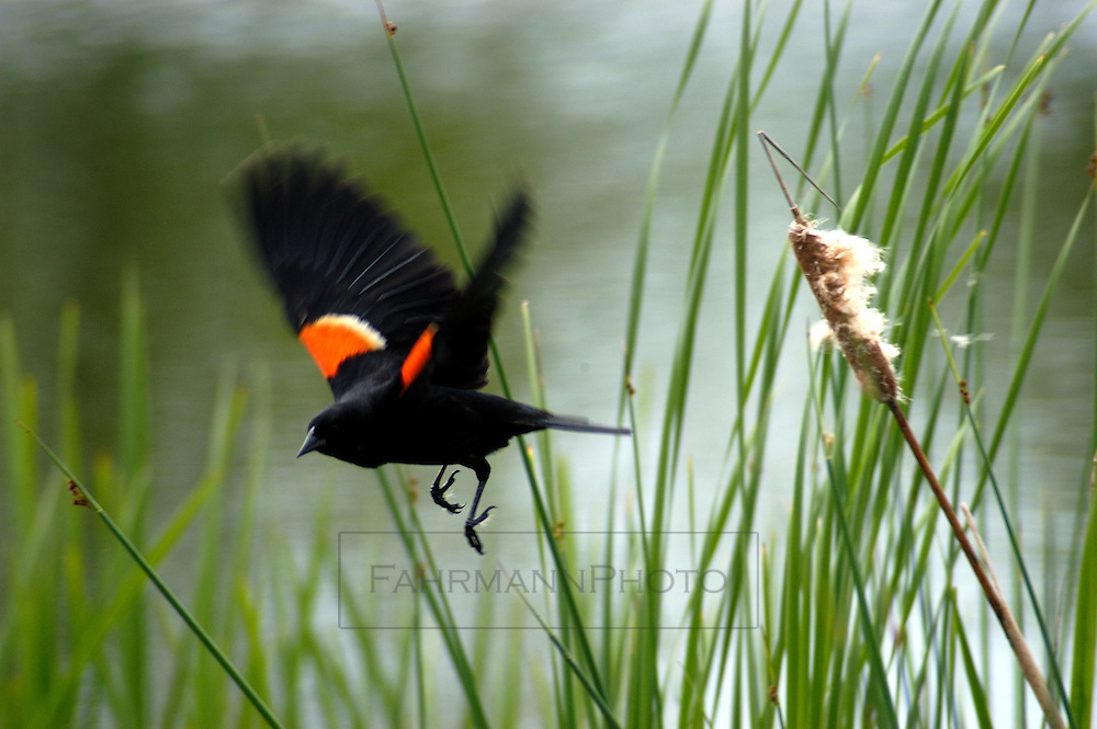 Red-winged Blackbird flies away from his perch on a cat tail