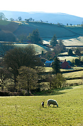 © Licensed to London News Pictures. 27/04/2016. Powys, Wales, UK. Sheep graze on a frosty morning near Builth Wells in Powys, Mid Wales. Photo credit: Graham M. Lawrence/LNP
