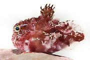 Ein junger Stacheliger Seehase (Eumicrotremus spinosus) hat sich auf einer Rotalge (Clathromorphum compactum) festgesaugt. Für ihn bietet die Rotalgenbank einen guten Lebensraum. Nordatlantik / Arktischen Ozean, Spitzbergen, Norwegen. | Beds of red algae offer suitable habitat for diverse organisms. This young Atlantic spiny lumpsucker (Eumicrotremus spinosus) attached itself to a red alga (Clathromorphum compactum). North Atlantic / Arctic Ocean, Spitsbergen, Norway.