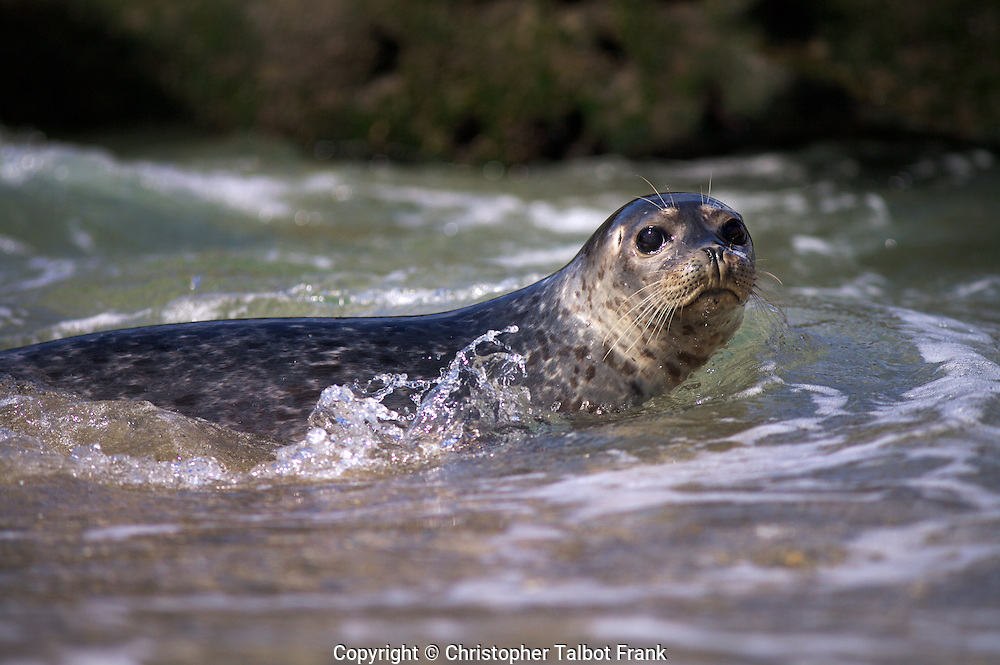 I had to get down low in the ocean waters to take to photo of a wide-eyed Harbor Seal in La Jolla.  The curious San Diego seal swims toward the seashore.