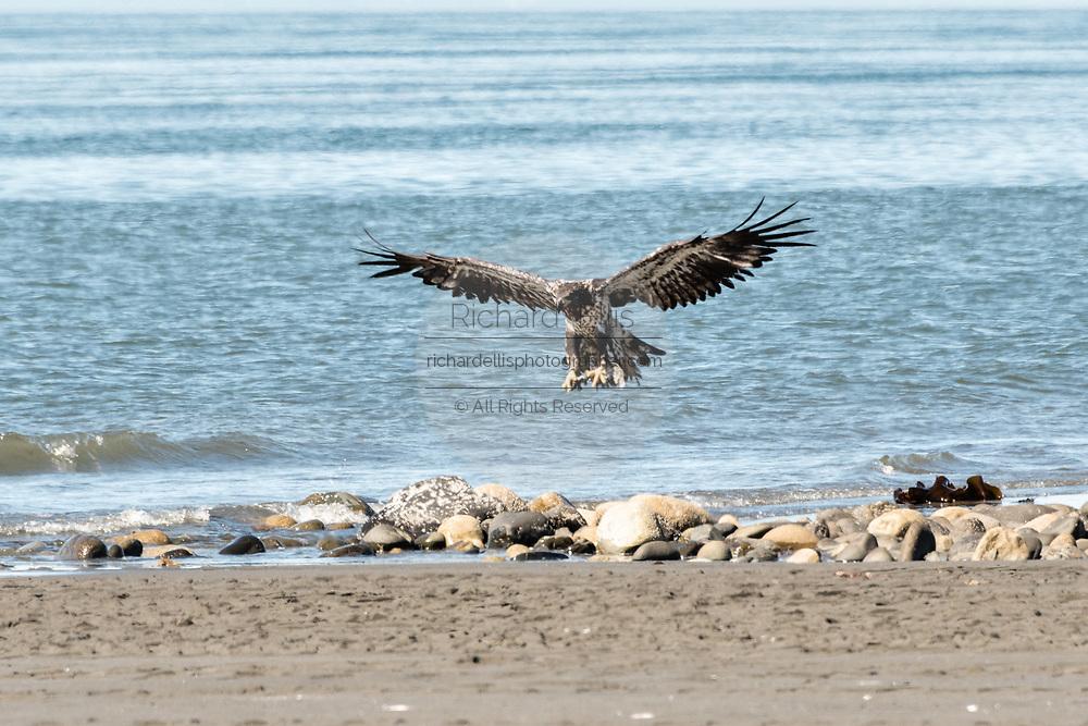 A juvenile bald eagle lands on the beach at Anchor Point, Alaska.