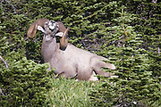 A Big Horn Sheep resting in the woods in Glacier National Park. Missoula Photographer, Missoula Photographers, Montana Pictures, Montana Photos, Photos of Montana